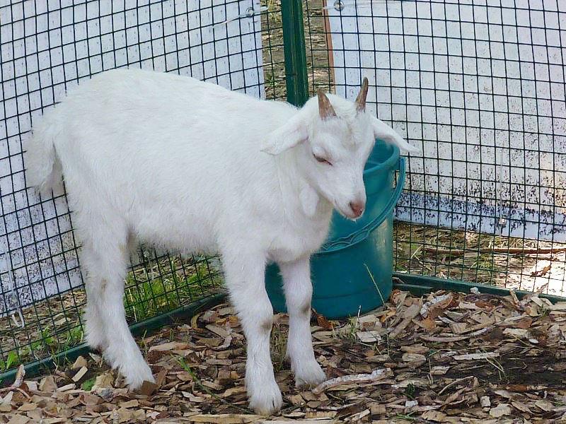 Омичка продавала козлят и нарвалась на хищника из Саратова #Омск #Общество #Сегодня