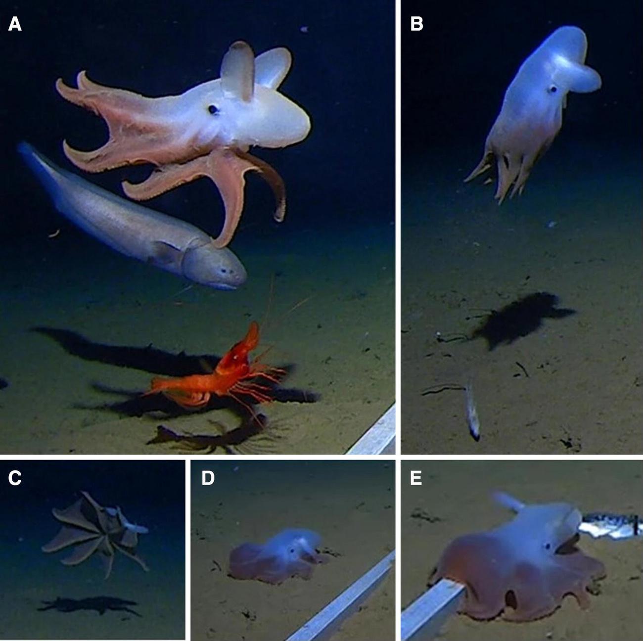 Исследователи впервые наблюдают осьминогов из бездны!