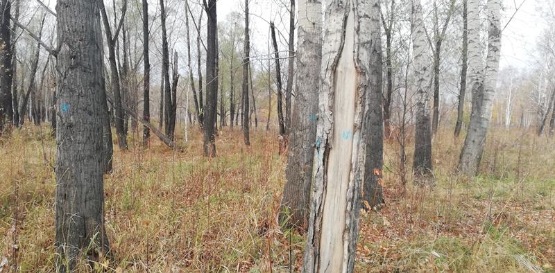 Омичу грозит колония за вырубку более 250 деревьев в урочище #Новости #Общество #Омск