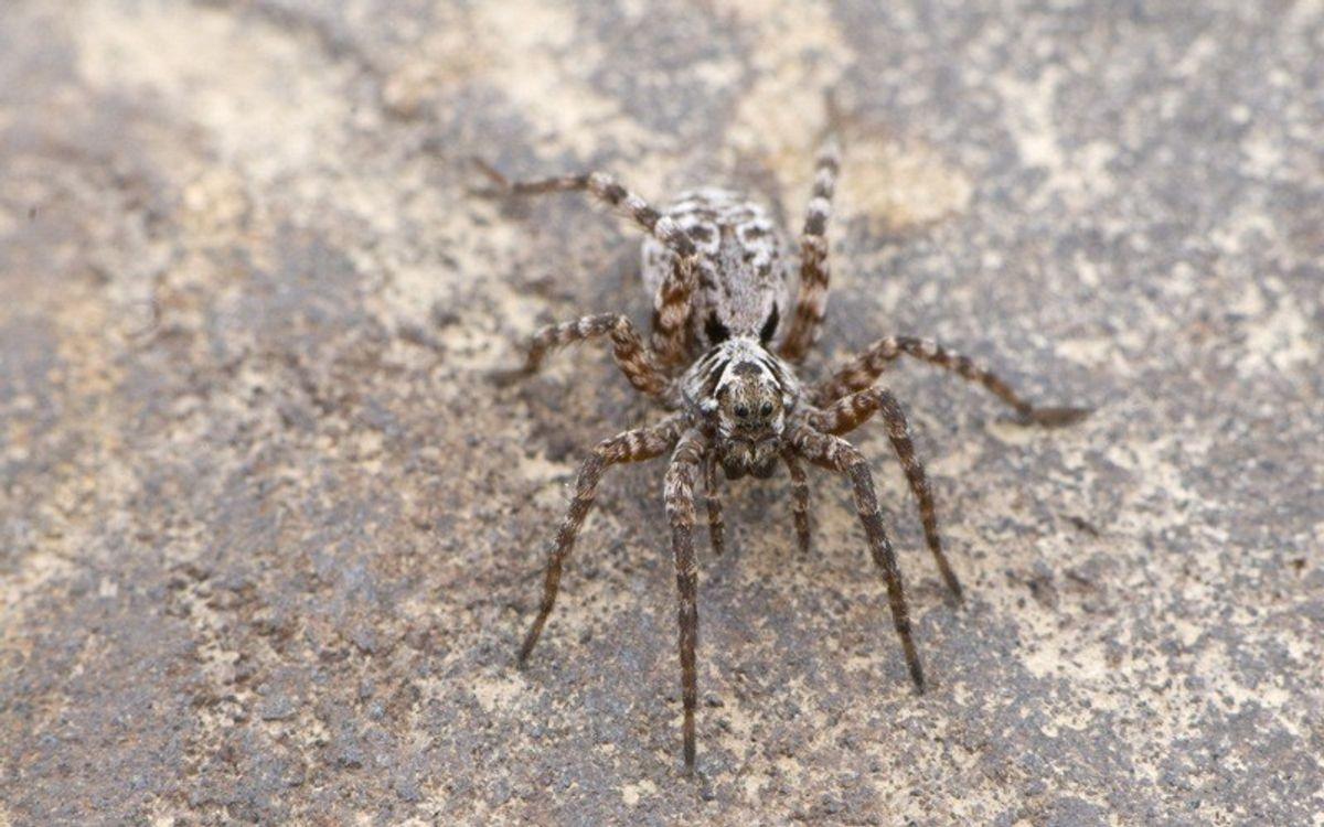 Идет взрыв рождаемости среди арктических пауков
