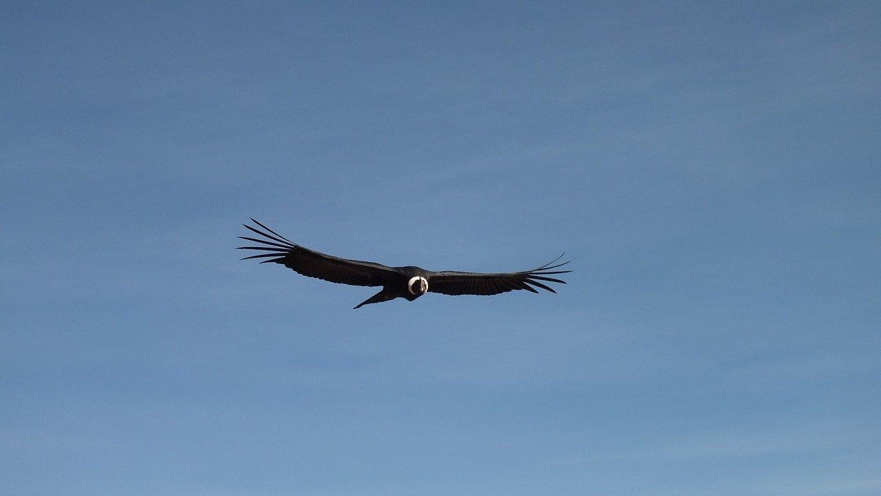 Кондоры могут парить часами, ни разу не взмахнув крыльями