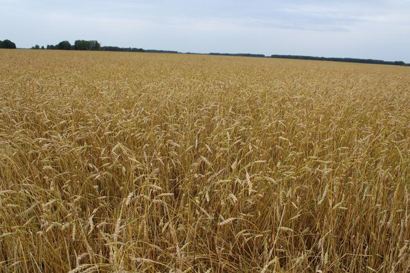 В Омске осудят предпринимателя за недостачу пшеницы из госрезерва #Новости #Общество #Омск
