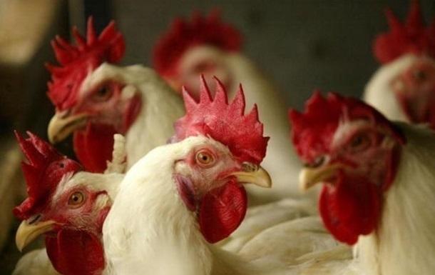 В Нидерландах уничтожат более 120 тысяч кур из-за птичьего гриппа