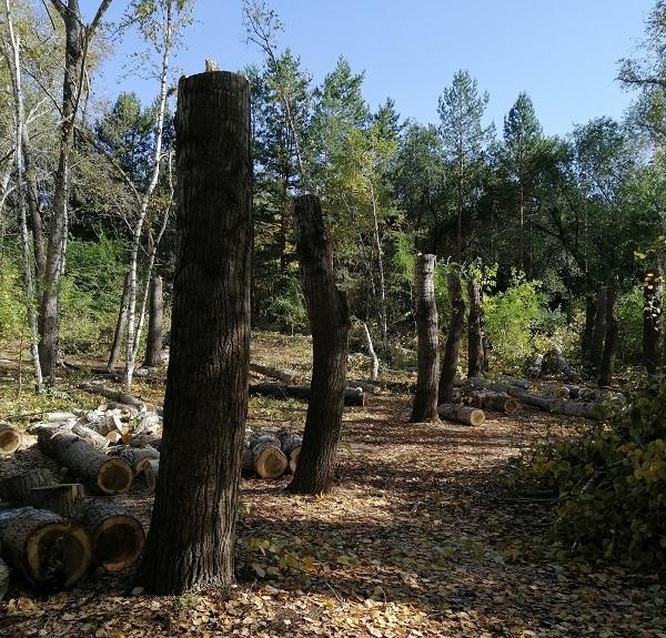 В Омске завели уголовное дело из-за вырубки деревьев в Нефтяниках #Новости #Общество #Омск