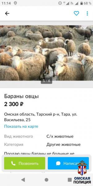 Житель Омской области хотел по дешевке купить баранов, но сам уподобился им #Новости #Общество #Омск