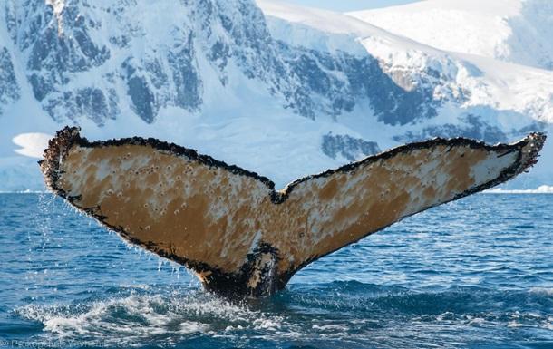 В Антарктиде полярники разбудили кита