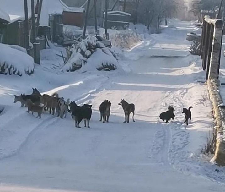 В Омске стая бродячих собак загрызла пса #Омск #Общество #Сегодня