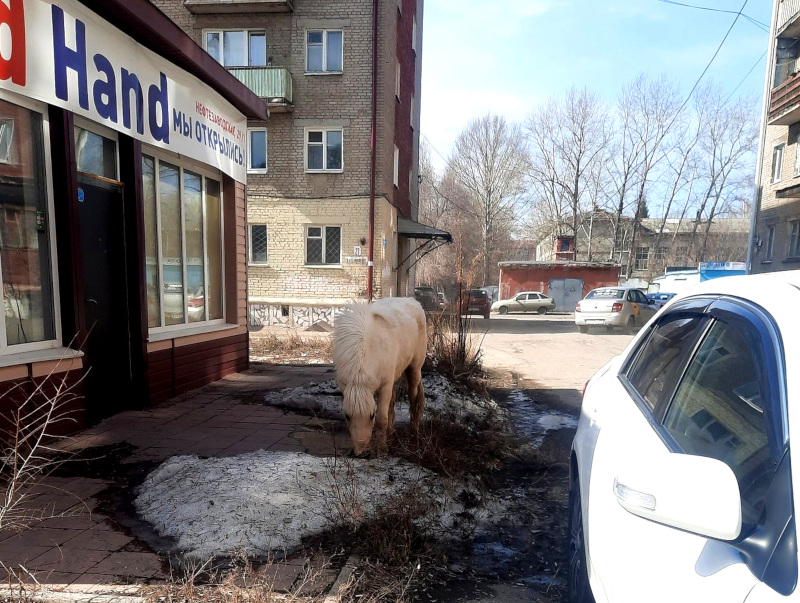 В омских Нефтяниках заблудился белый пони #Новости #Общество #Омск
