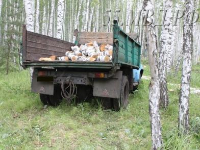 В Омской области будут судить «черных лесорубов», вырубивших 118 берез #Омск #Общество #Сегодня