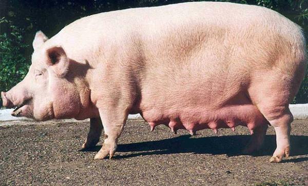В Омской области за 55 млн продают обанкротившийся свинокомплекс