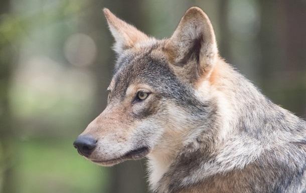 В Словакии за убийство волков будут сажать в тюрьму