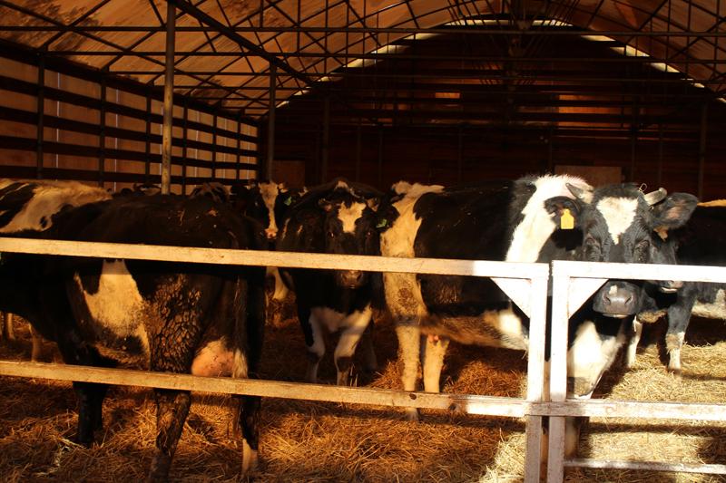 В Омской области все меньше коров, свиней, овец и коз #Омск #Общество #Сегодня