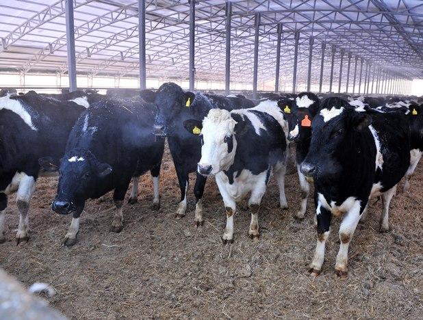 В Омской области нашли бешеную корову #Омск #Общество #Сегодня
