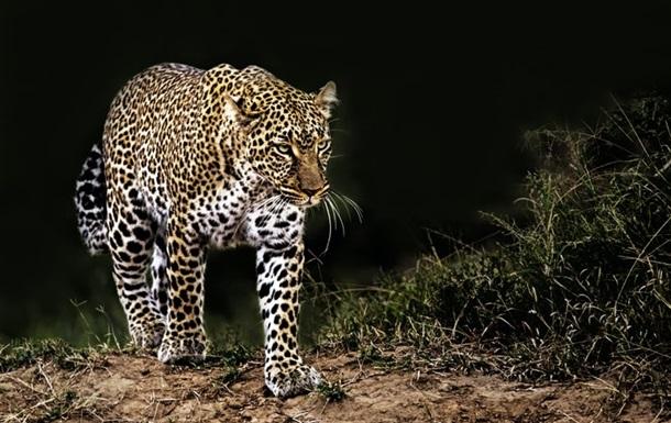 Леопард разорвал ребенка в Индии