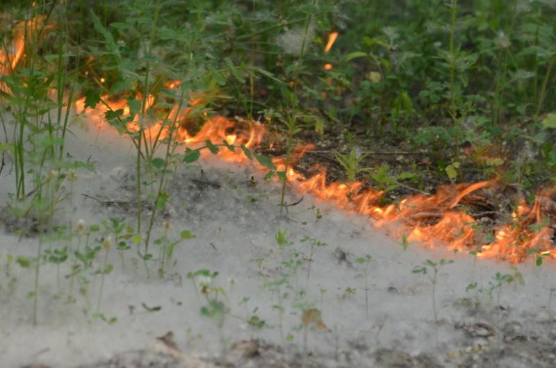 Омичей предупредили об опасности тополиного пуха #Новости #Общество #Омск