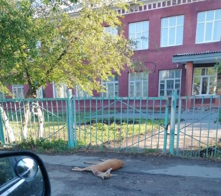 У ворот школы в Омске обнаружили мертвую косулю #Омск #Общество #Сегодня