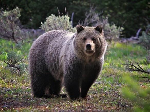 Медведи РІСЃРµ ближе подбираются Рє границам РћРјСЃРєР° #Омск #Общество #Сегодня