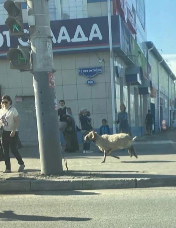 Из омской мечети перед жертвоприношением сбежал баран #Омск #Общество #Сегодня
