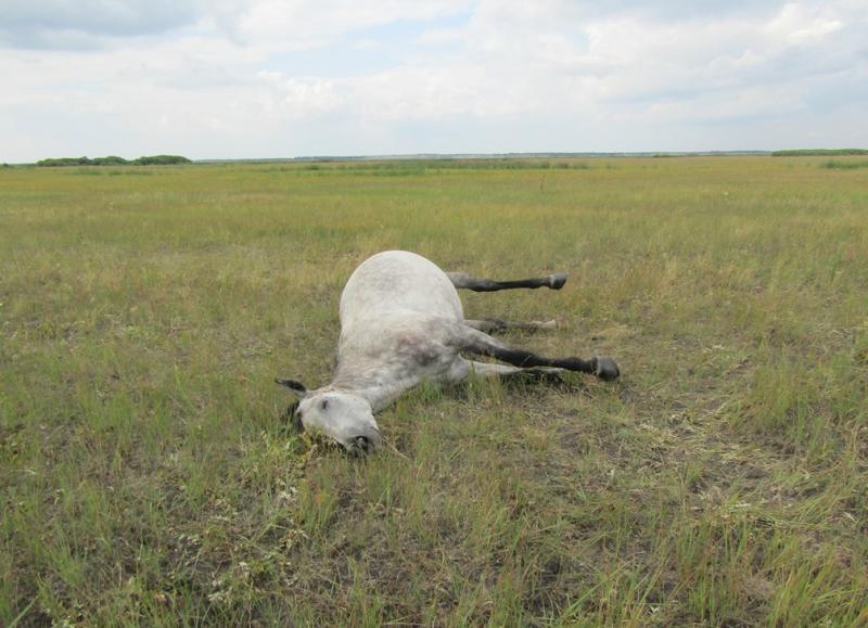 Житель Омской области застрелил соседскую лошадь #Омск #Общество #Сегодня
