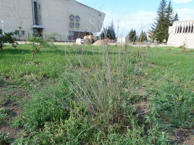 Засохшие в центре Омска деревья «зависли» между ведомствами #Новости #Общество #Омск