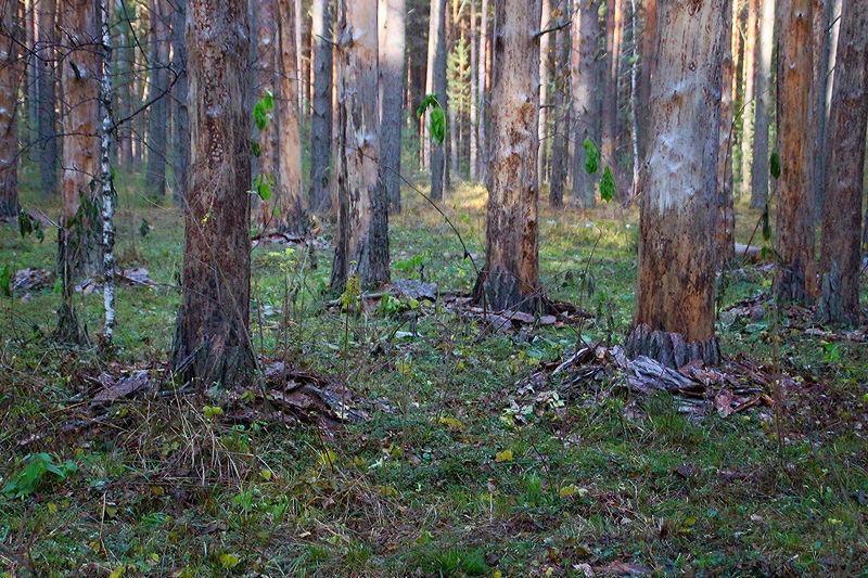 В глухой тайге нашли собиравшего шишки омича #Омск #Общество #Сегодня