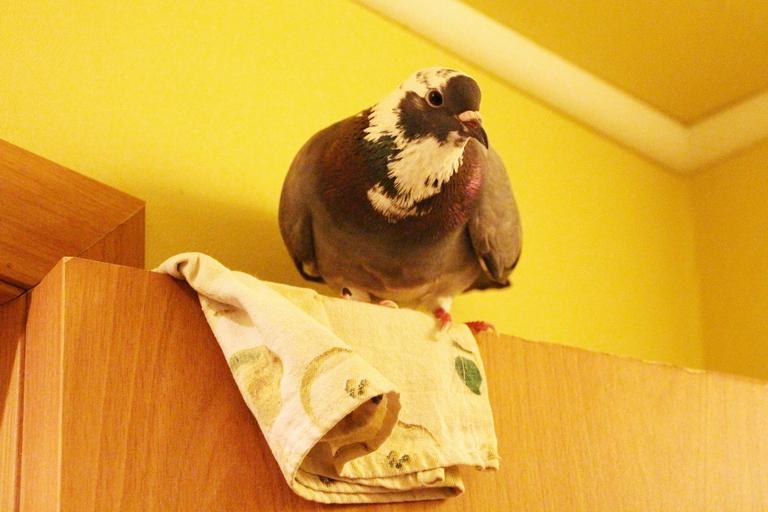 «Ты регулярно будешь наступать в помет»: спасшие птенца во время урагана омичи рассказали о жизни с голубем #Омск #Общество #Сегодня