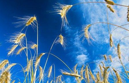 Омская пшеница оказалась под угрозой.