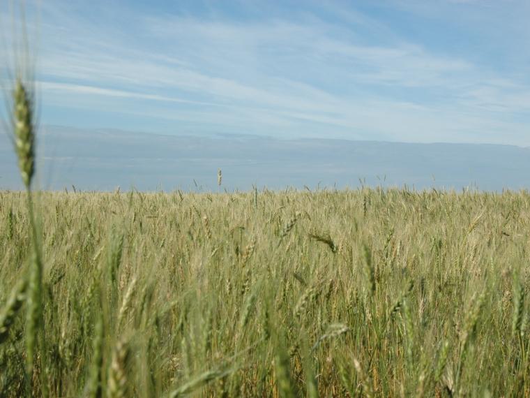 Омские хлеборобы намолотили 3 миллиона тонн зерна