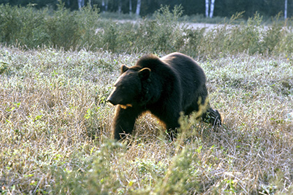 Медведь задрал охотника в Хабаровском крае