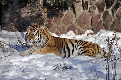 Москвичам разрешат выгуливать тигров, львов и леопардов